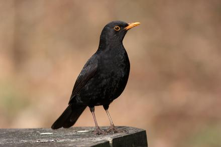 Blackbird-Sep-16-Blog